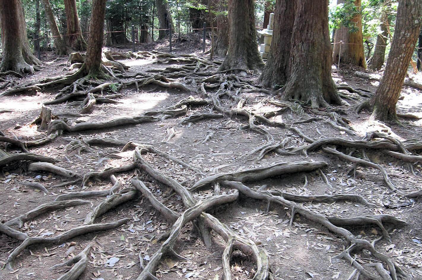 鞍馬山木の根道